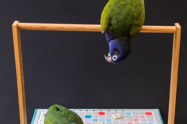 blue-headed-parrots777C1304-B5E3-B96C-B0F6-98C2B6FBAB8D.jpg
