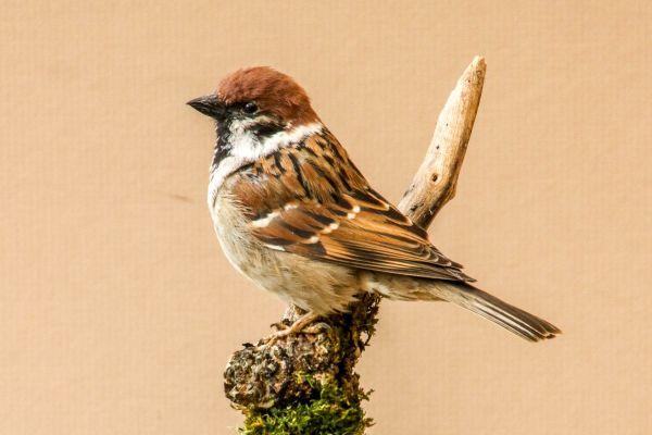 tree-sparrow87821AAC-2C70-7C68-C61B-41FD8EDF1D04.jpg