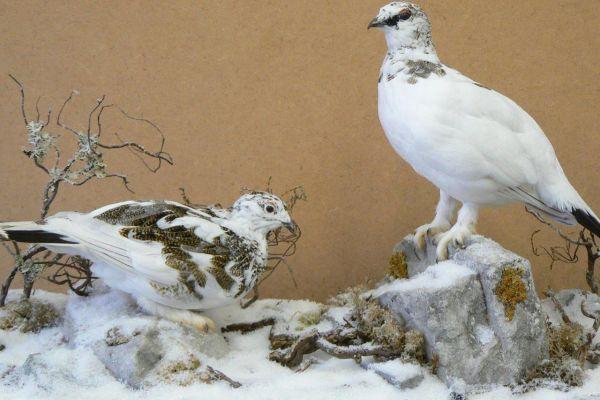ptarmigan-birds21C7878C-4EE2-192B-457A-70E1238A1F5C.jpg