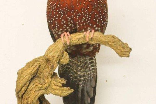 satyr-tragopan-birds4CA9653C-A65D-1494-EC15-B1261476FDE5.jpg