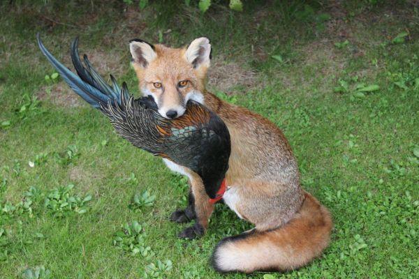 fox-mammalsA1113D30-8E8A-CA87-B766-38F1A816D540.jpg