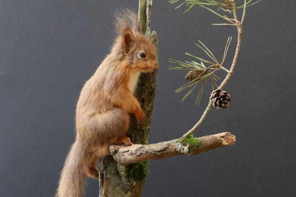 website-update-red-squirrelC6B79958-04B8-895F-0624-73B0E4C6BFAE.jpg